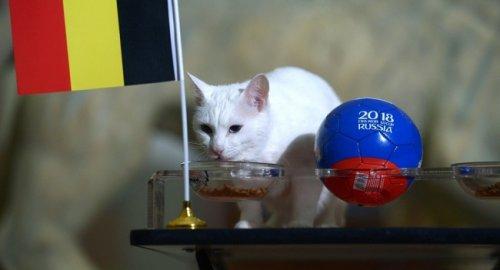 Кот Ахилл поставил наБельгию вЧМ-2018 - «Спорт»