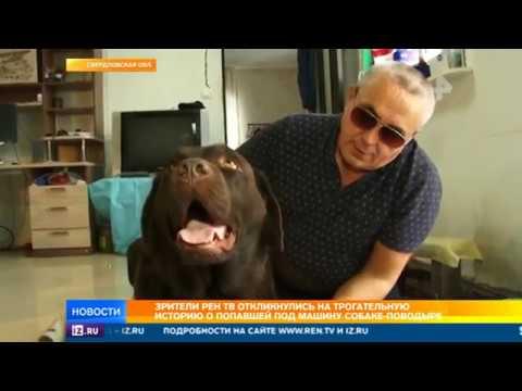 Зрители РЕН ТВ откликнулись на трогательную историю о попавшей под машину собаке-поводыре  - (ВИДЕО)