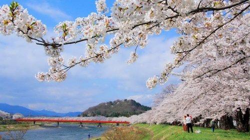 Волшебство весны: в Японии зацвела сакура - «Новости Армении»